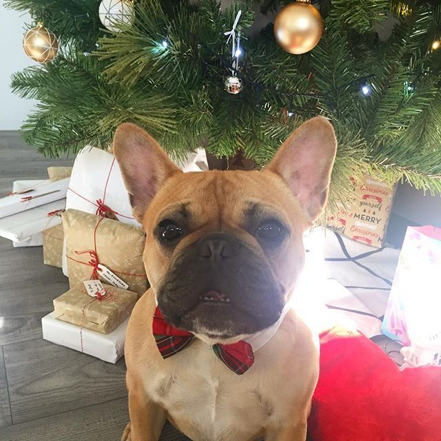 Merry Christmas to all my fur buddies and their family's 🎄🐾 Franklin the French Bulldog