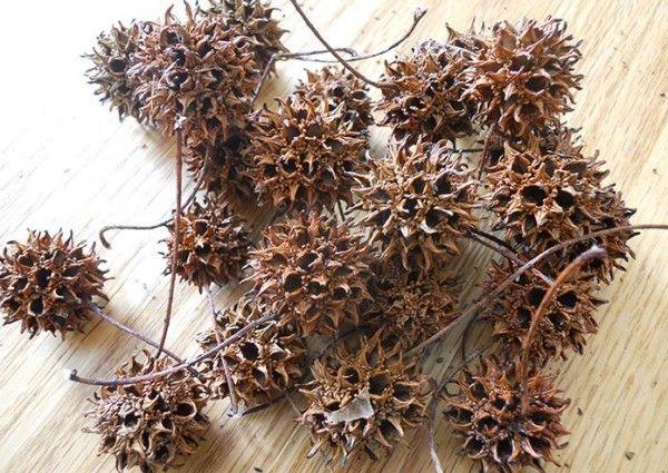 Amber Çiçeği Tohumu Faydaları - Şifalı Bitkiler Rehberi