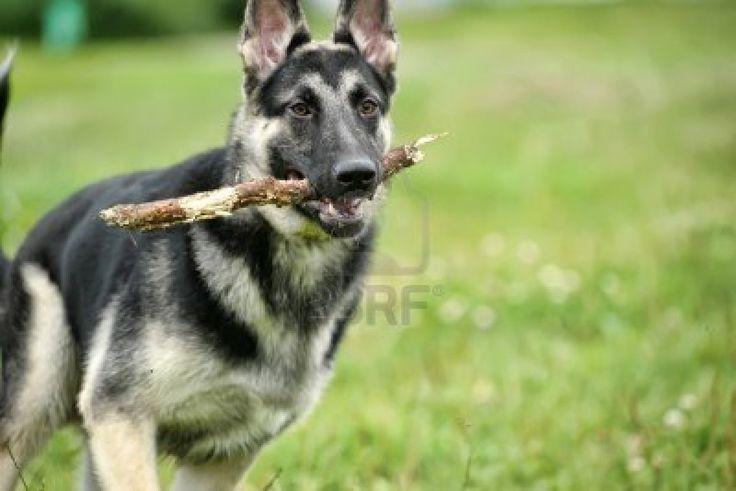 german shepherd dogs - Google Search | Dogs | Pinterest ...