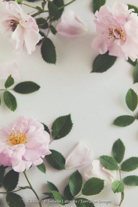 John Cabot roses floral still life Isabelle Lafrance / Trevillion Images
