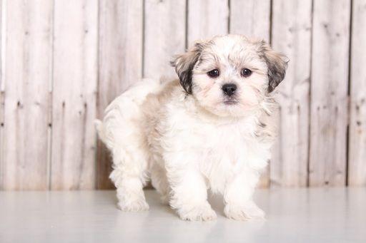 Zuchon puppy for sale in MOUNT VERNON, OH. ADN-59440 on PuppyFinder.com Gender: Male. Age: 8 Weeks Old