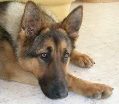 """Résultat de recherche d'images pour """"photos des plus beau chien berger allemand au monde"""""""
