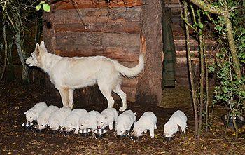 The White Wolves • Witte Zwitserse Herdershonden kwekerij • Gezonde puppies te koop • Witte schepers fokkerij