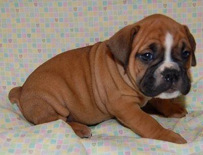 valley bulldog (or bull boxer) = new dream pup