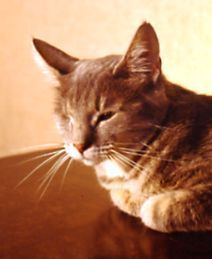 """8 Ways to Help Your Blind Cat Have a Safe and Happy Life: This kitty lost one eye to infection while a stray, and later became fully blind. But it never slowed her down as the """"office cat"""" at a local veterinarian's office."""