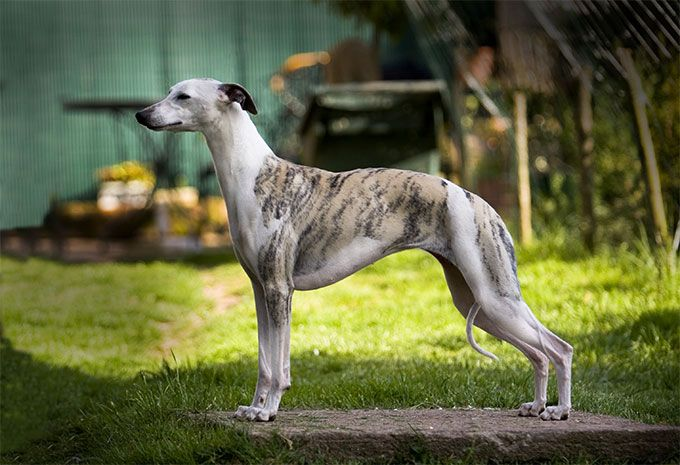 Whippet Dog Breed Info