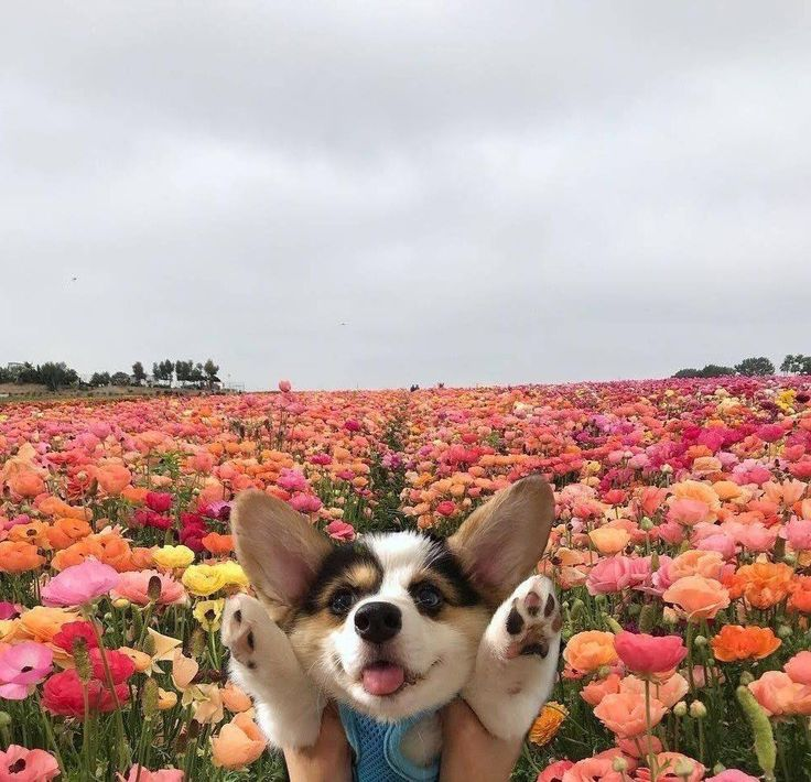 This corgi puppy wants you to know two things:  1. You got this! 2. Spr…   – Animals