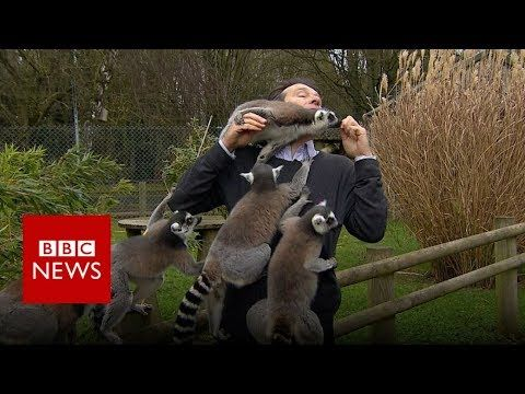 Officially...Archangel641's Blog: BBC reporter attacked by lemurs during report at t...