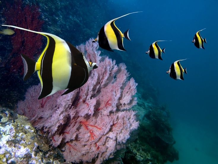 Moorish Idol    http://www.buzzfeed.com/tanked/the-most-beautiful-fish-in-the-world