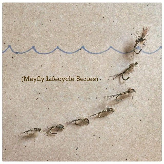 Mayfly Lifecycle Series #flyfish