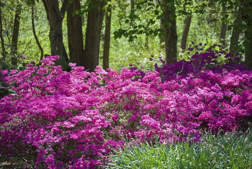 Azaleas Plant Under The Pine Trees More Gardens Ideas Flower