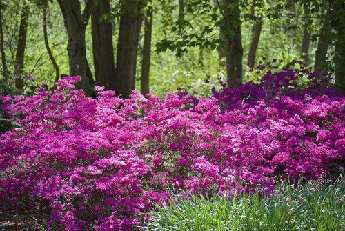azaleas - plant under the pine trees More Gardens Ideas, Flower Shrubs, Favorite…