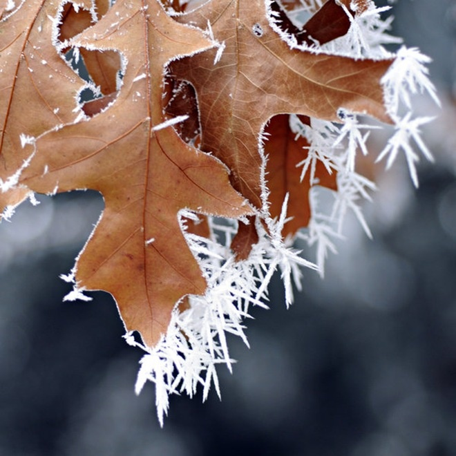 ice-crystal fringe.Oak Leaves, Fall Leaves, Ice Crystals, Beautiful, Winter Wonderland, Flower Gardens, Fall Frosty, Jack Frostings, Snow Queens