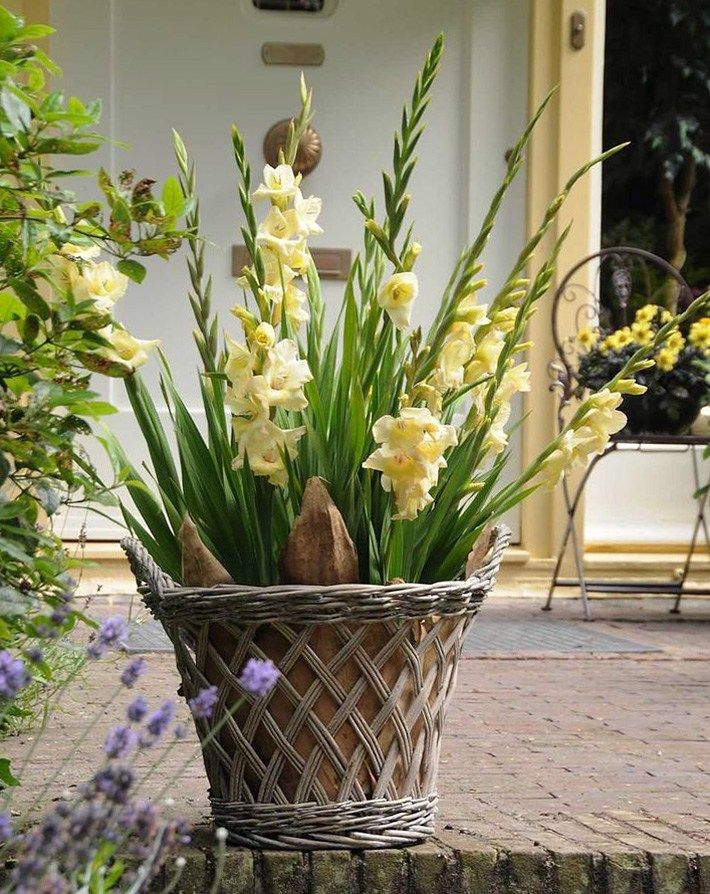 How To Plant And Grow Gladiolus In Pots Summer Bulbs Container Gardening Container Flowers