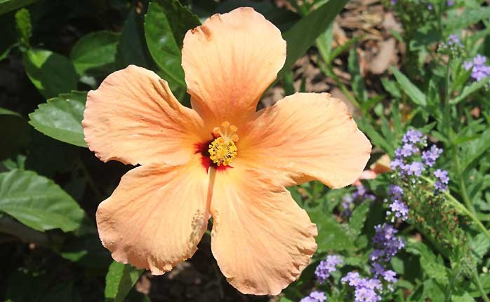 Hibiscus | ABG: Georgia Peaches