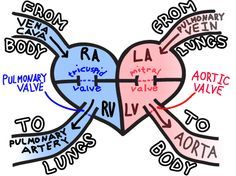 Health Education/Information - Blood flow through the heart. What a great diagram! Never saw this one before.