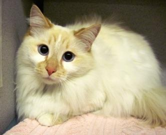 Flame point longhair female Animal Rescue League