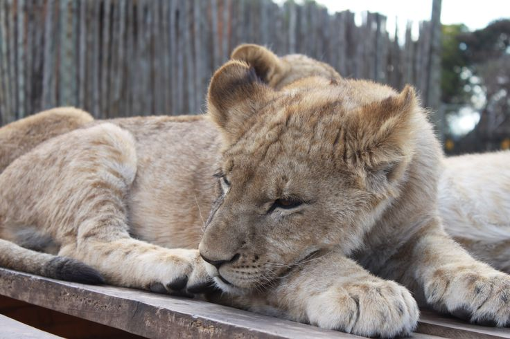 Lion cub resting, South Africa