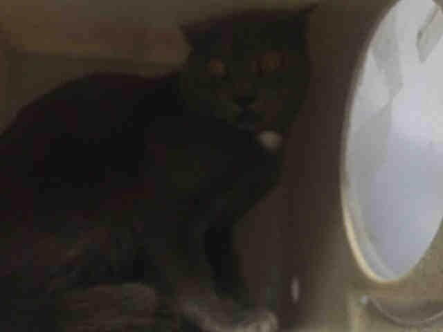 JOJO - A1091421 - - Brooklyn  ***TO BE DESTROYED 10/02/16*** JOJO HAD NO CHANCE TO ESCAPE WHEN TRAPPED!! HOW CRUEL IS THIS WORLD?! Just 2 years old and already been inside a trap of the humans that he has grown to hate! And who can blame him. One trapped him, the others will kill him…who can he trust NOW? YOU…that's WHO! YOU will be the one to bring him home and treat him as your own, and give him a reason to never be ALONE!! Offer to FOSTER OR ADOPT TODAY