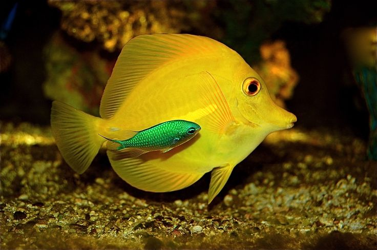 157 best saltwater fish images on pinterest marine life for Yellow fish tank water