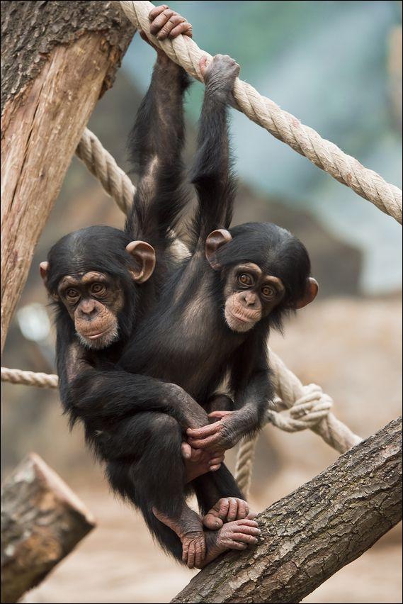 ~~Common Slopes ~ baby Chimpanzees  by Matthias Kretschmar~~