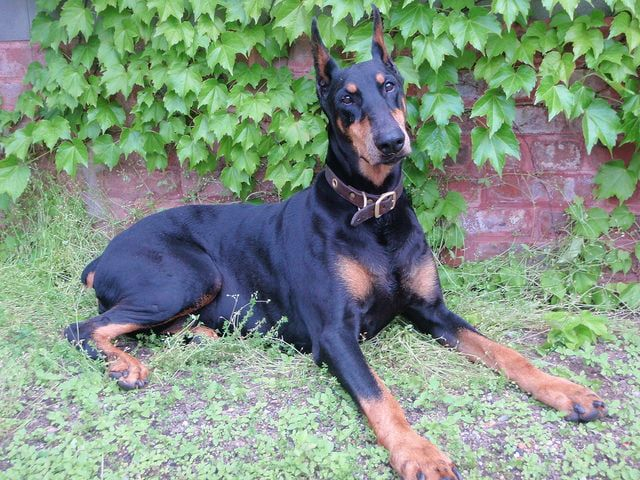 Best Family Guard Dogs 7 Top Breeds Protective Dogs Best Guard