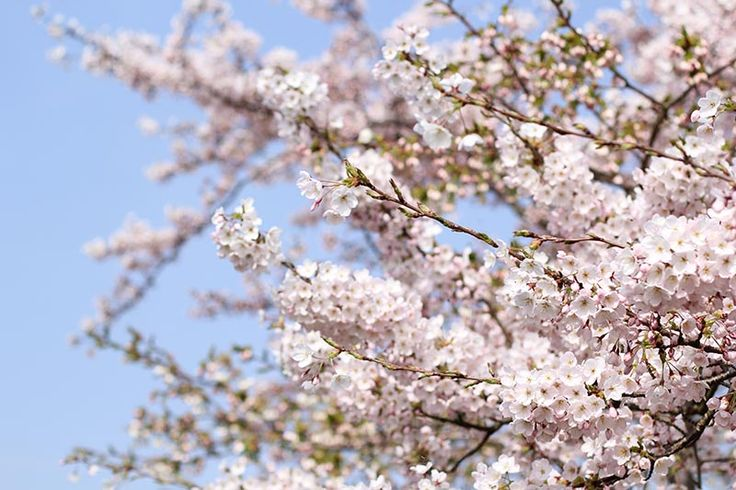 Blossom Forecast – March 2017 Globally this year trends are indicating an early spring, Eastern America have seen blossom opening 3 weeks earlier than usual (United States Geological Survey, USA National Phenology Network). Current Blossom forecast for the ccollection If temperatures continue to remain warm buds will continue to burst and blossom will soon follow. Early …
