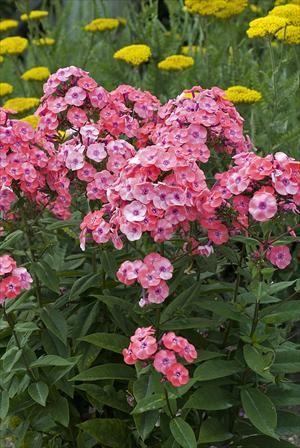 U0027Junior Danceu0027 Garden Phlox Short, Compact Plants That Bloom All Summer  With Fragrant Coral Pink Flowers.