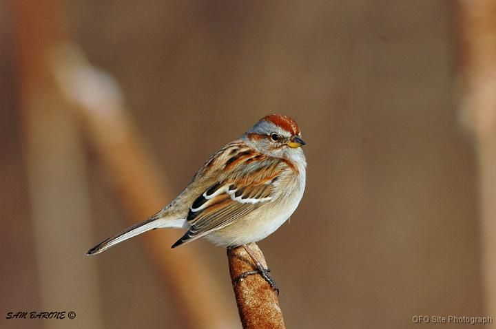 1000 Images About Beautiful American Tree Sparrow Bird