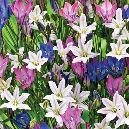 Deluxe Brodiaea BlendHills Nurseries, Brodiaea Blends, Deluxe Brodiaea, Spring Hills, Flower Bulbs, Flower Gardens, Beautiful Gardens, Future Gardens