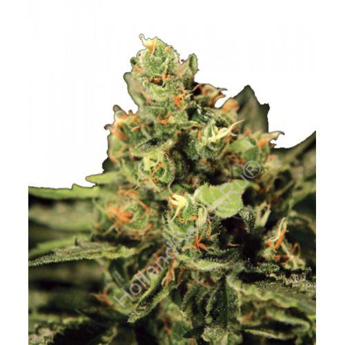 Big Bang Auto http://hollandseeds.xyz/green-house-seeds-ru/big-bang-auto.html  #купитьсеменаканнабиса#