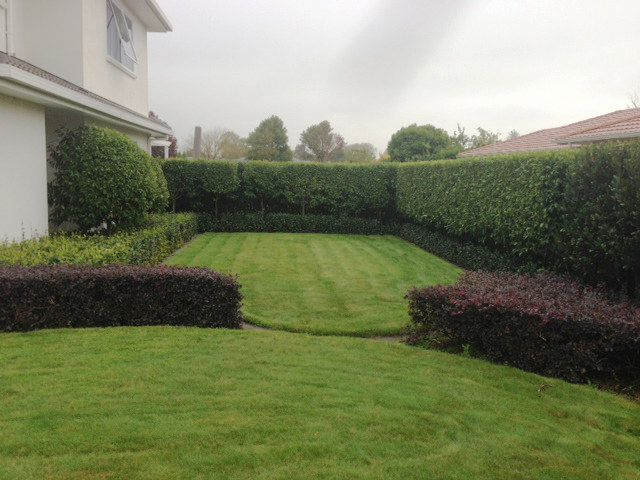 Michelia Hedge Underplanted With Star Jasmine Grown As