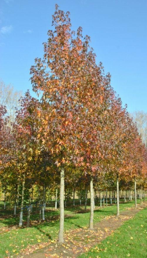 Liquidambar styraciflua 'Worplesdon' #tree #autumn #colours www.vdberk.co.uk