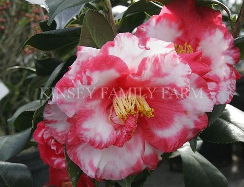 27 Best Shrubs Camellias Images On Pinterest Camellia Flowering Bushes And Flowering Shrubs