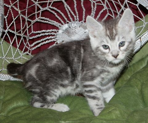 1000+ ideas about Bengal Kittens For Sale on Pinterest ...