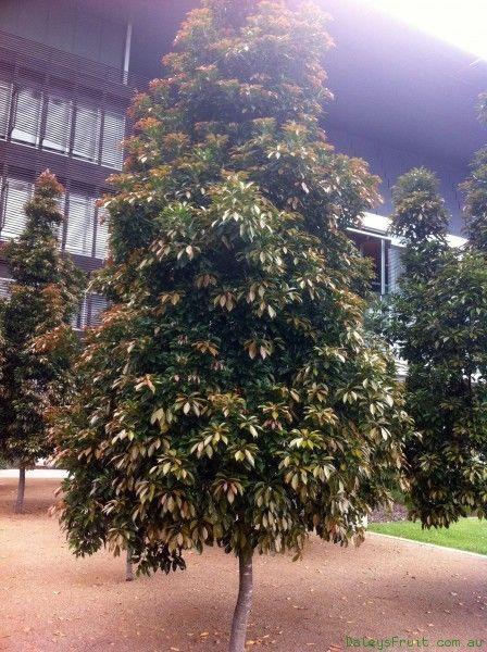 EUMUNDI QUANDONG - BRILLIANT NATIVE RAINFOREST TREE