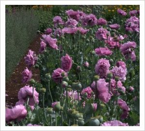 Peony Poppy 'Pink and Mauve' | Lambley Nursery
