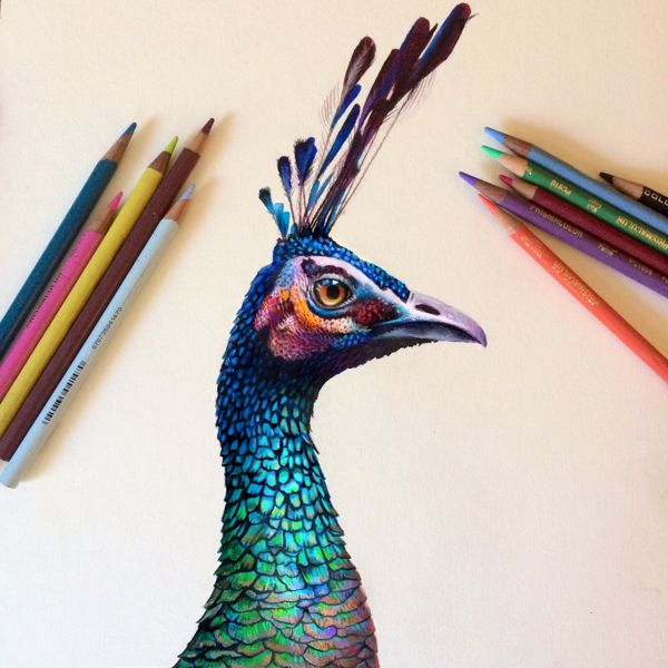 Colored Pencil Peacock Study by Morgan Davidson