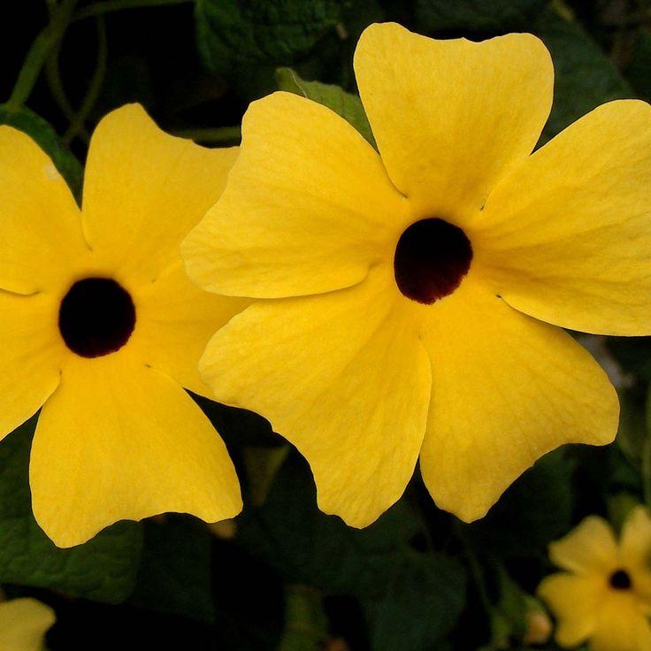 Suzanne jaune aux yeux noirs - Thunbergia Alata