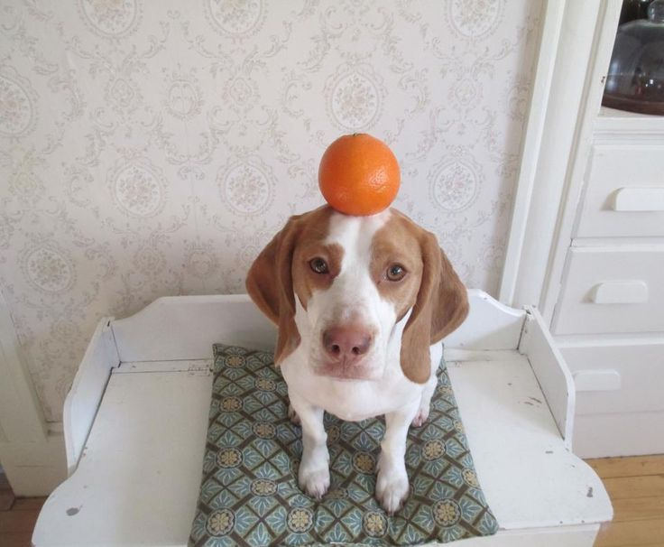 Maymo the Lemon Beagle - This dog is hilarious! (and also very cute) I love Maymo!