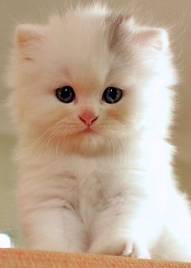 Sweet little Persian... I don't know why I love the smushy face so much! And this one isn't cross-eyed, hehe - Spoil your kitty at www.coolcattreehouse.com