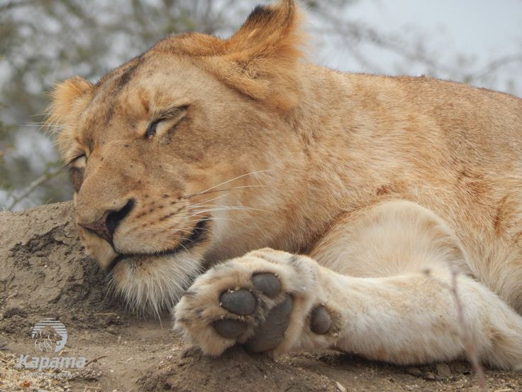 Afternoon snooze on Kapama Private Game Reserve