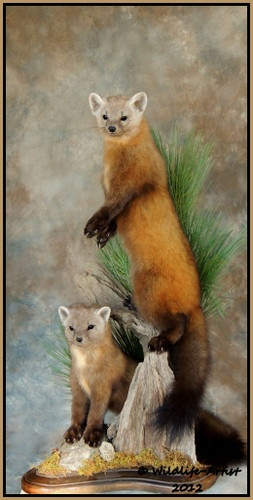Marten Taxidermy
