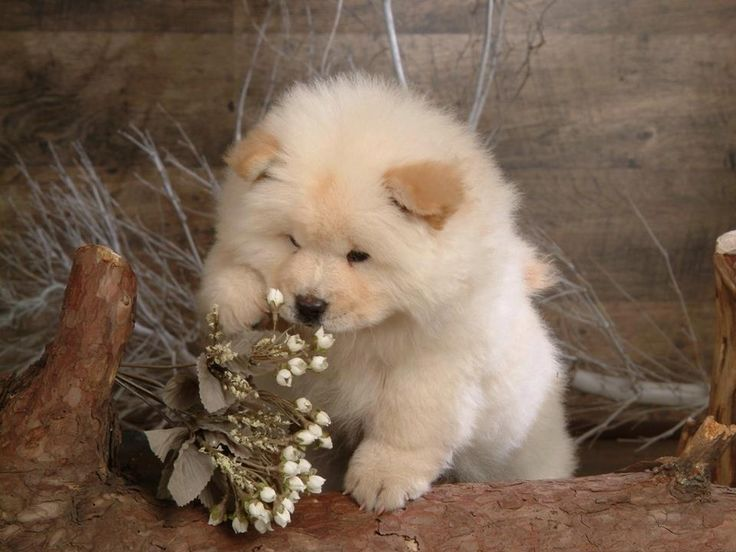 Long Haired Akita Puppy Cutie Pies Pinterest Dog