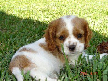 cocker spaniel pup: Spaniel Puppies, Cavalier Puppies, Dogs, Charles Cavalier, Cavalier King Charles, Adorable Animal, Cocker Spaniels Puppies, King Charles Spaniels, Blenheim Spaniels