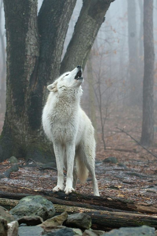 The Beauty of Wildlife - SAVE THE WOLVES