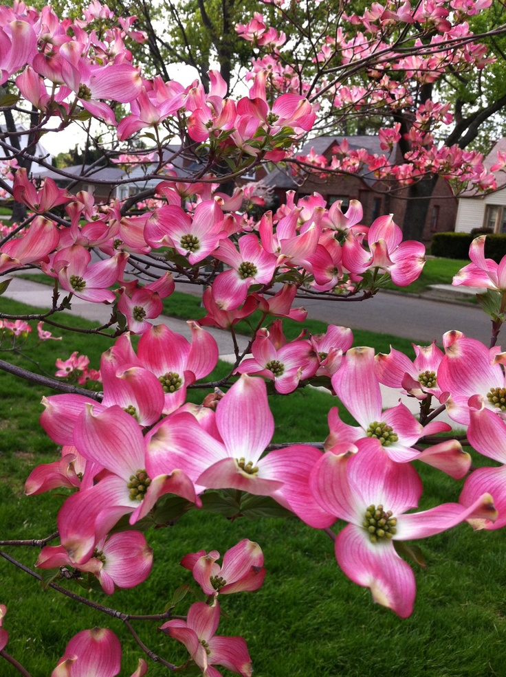 95 best images about flowering trees on pinterest trees for Dwarf flowering trees