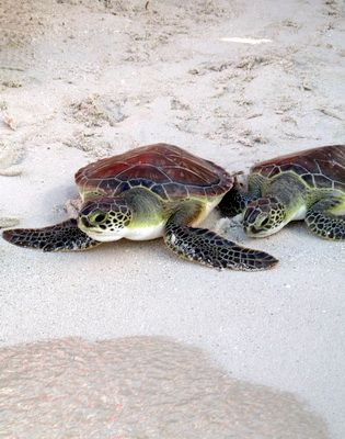 Green turtles on Grace Bay beach at the Bight Reef Turks and Caicos Islands