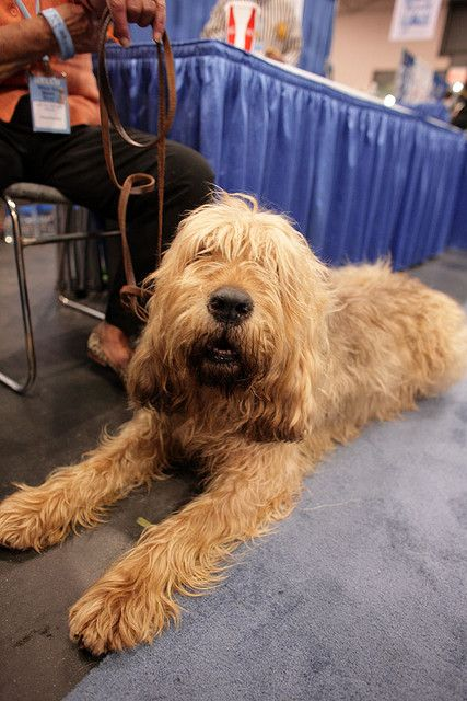 Otterhound liver color. So beautiful. These dogs are the best. They don't bark, they have a bey.