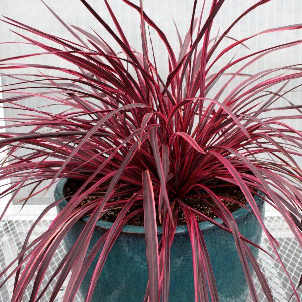 Full Shade    New Plant Introduction By Monrovia: Raspberry Festival Grass    Cordyline Banksii X Pumilio Var P. Low Maintenance, Great Container Plant,  ...